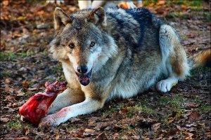 _47247307_wolf